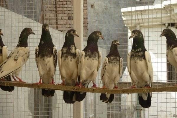Какие бывают бойные голуби?