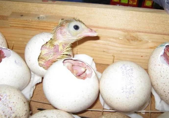 Как посадить индюшку на яйца — сколько яиц можно подкладывать, сколько дней высиживает