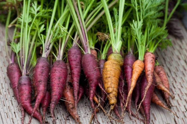 Фиолетовая морковь стоит ли выращивать, полезные свойства, лучшие сорта