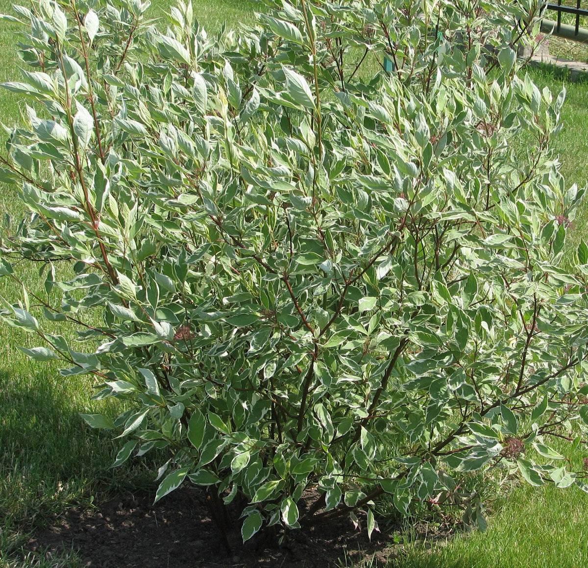 Эффектные кустарники в дизайне сада: выращиваем дерен белый элегантиссима