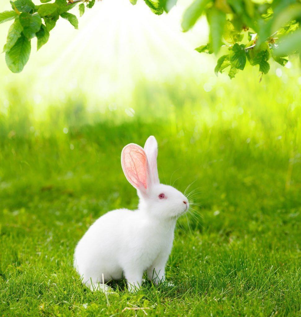 Характеристика и описание кроликов породы белый паннон, правила содержания