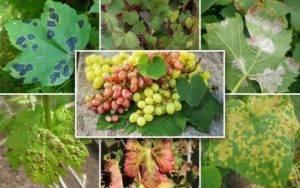 Сорт винограда воевода: описание и фото, отзывы садоводов