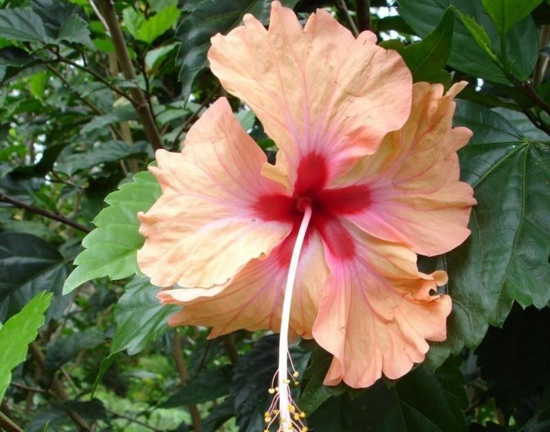 Семена гибискуса: как вырастить китайскую розу «крылья ангела» в домашних условиях? выращивание «энжел вингс», тонкости посадки семян
