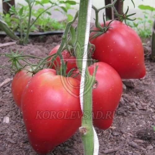 Описание сорта томата малиновка — особенности выращивания