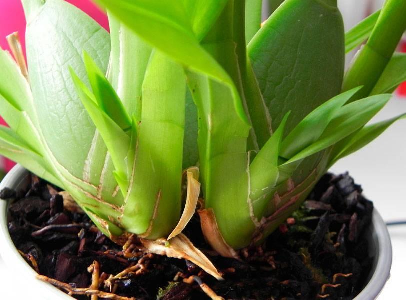 Орхидея камбрия (cambria): описание вида, подсорта с названиями и фото цветка, уход в домашних условиях, а также особенности пересадки и содержания во время болезней selo.guru — интернет портал о сельском хозяйстве