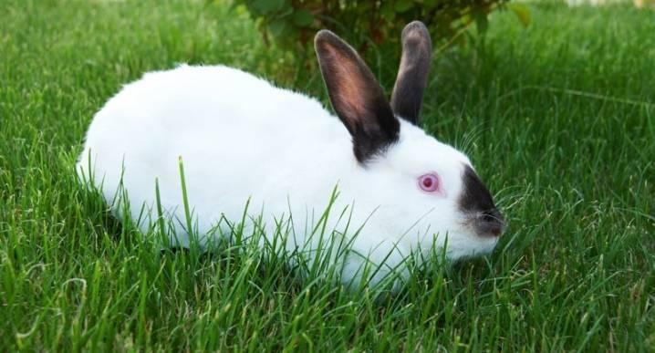 Калифорнийский кролик: описание породы,разведение и содержание