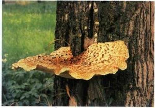 Где растут древесные грибы