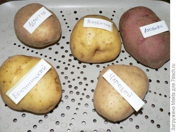 Картофель адретта: характеристика и описание сорта картошки, фото кустов и урожая, отзывы тех, кто выращивал