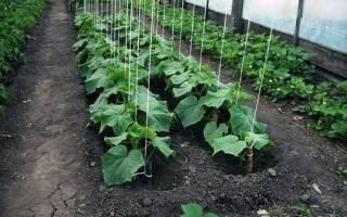 Выращивание огурцов в теплице из поликарбоната: когда и как сажать