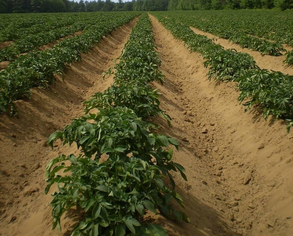 Через сколько дней всходит картофель после посадки — рассмотрим со всех сторон