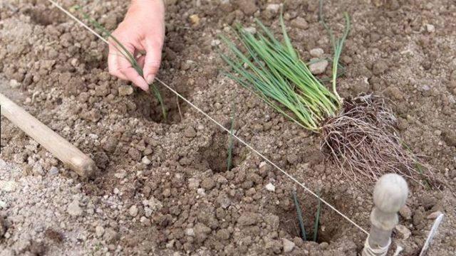 Лук-порей: особенности выращивания и ухода в сибири (посадка на рассаду, когда убирать) фото и видео - eтеплица