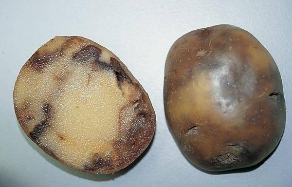 Почему гниет картофель: топ-6 вероятных причин | огородники
