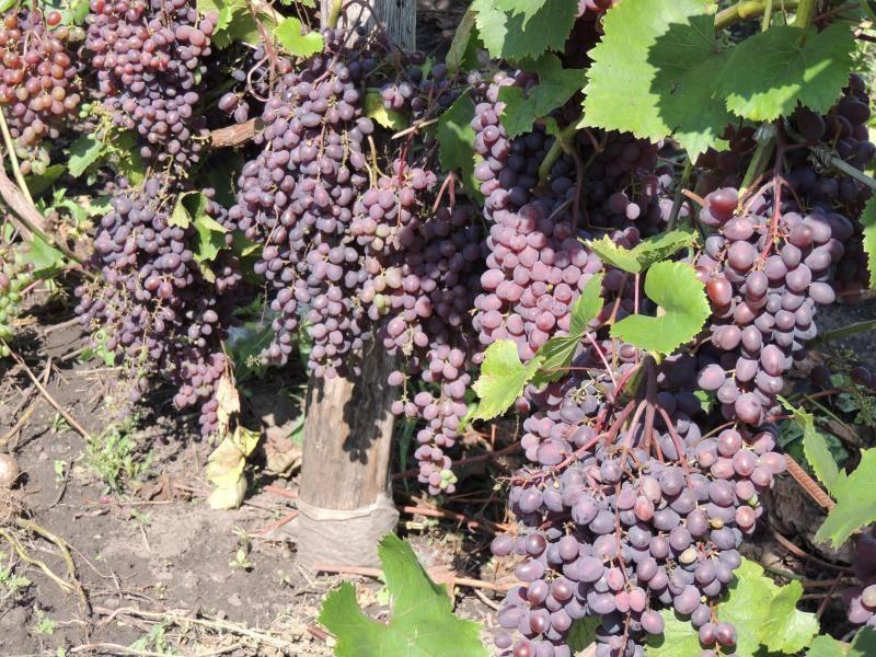 Виноград кишмиш запорожский: описание сорта, фото