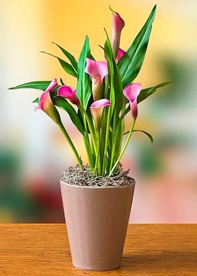 Как заставить каллу цвести в домашних условиях и в саду: почему она плохо растет