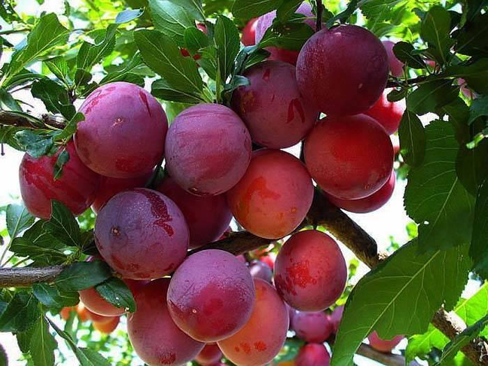 Сорт сливы красный шар, описание, характеристика и отзывы, особенности выращивания