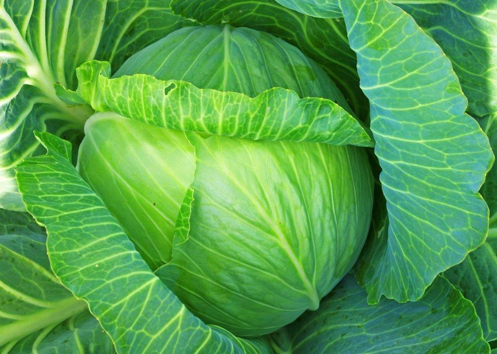 Один из популярных супер-ранних сортов капусты — этма f1: описание и характеристика