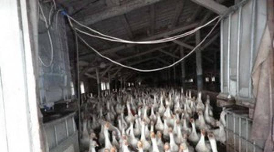 Бизнес-план гусиной фермы: открытие, разведение гусей, сбыт продукции
