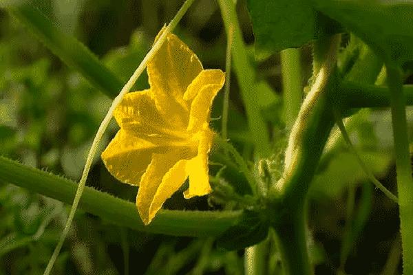 Пустоцветы на кабачках: причины проблемы и способы ее устранения