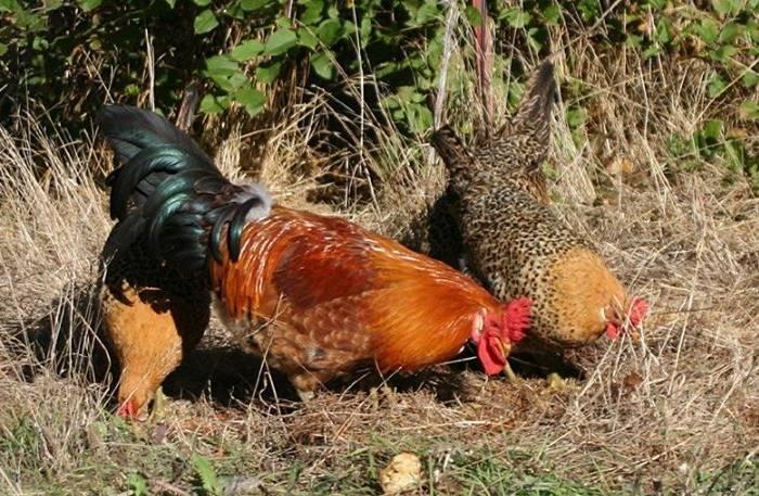 Андалузская порода кур - фото, описание, содержание голубых куриц