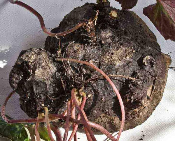 Виды цикламенов, размножение и пересадка комнатных цветов, защита от болезней