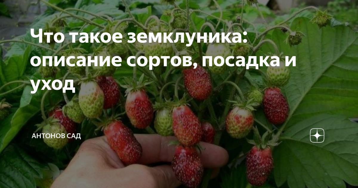 Клубника александрия: описание сорта с характеристикой и отзывами, особенности посадки и выращивания, фото