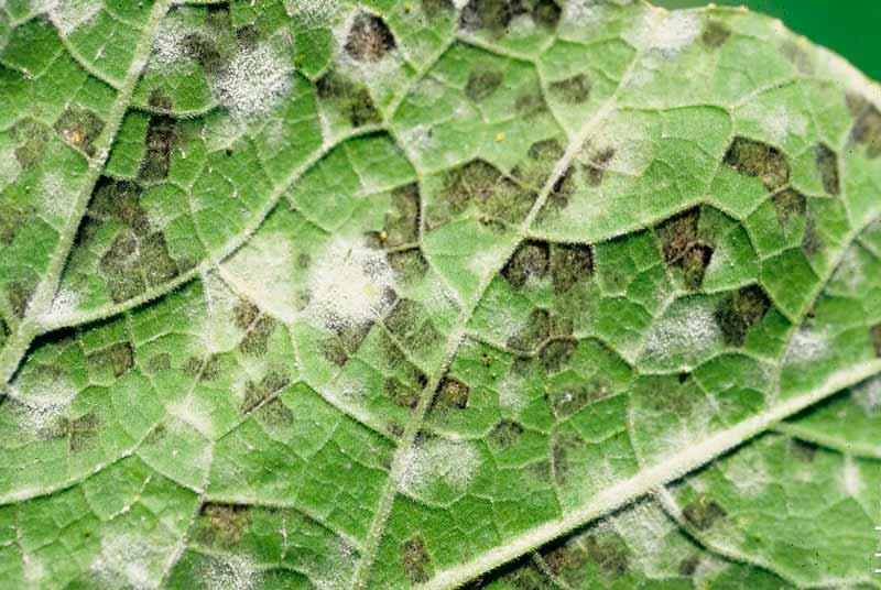 Ложная мучнистая роса: препараты, меры борьбы на огурцах и луке