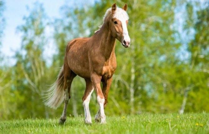 Коннемара пони: происхождение, описание, фото | мои лошадки