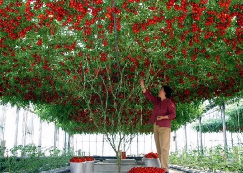 Помидорное дерево в открытом грунте - сам себе сад