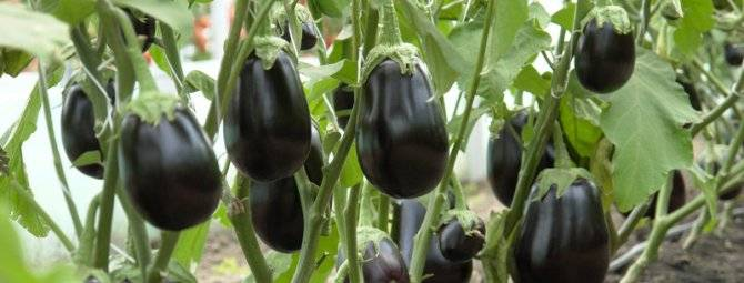 Баклажан клоринда (f1):отзывы тех, кто выращивал, преимущества и недостатки гибрида