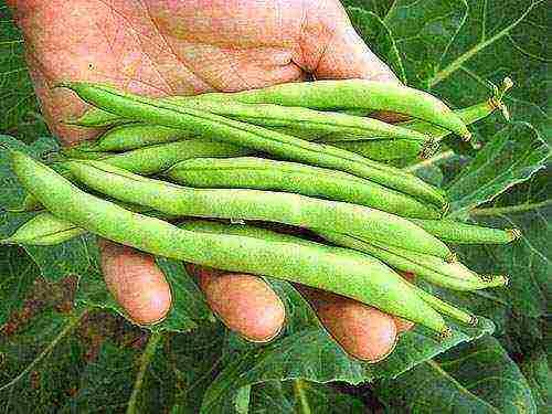 Спаржевая фасоль и стручковая фасоль: фото бобовых, разница между ними, особенности выращивания и применения в кулинарии