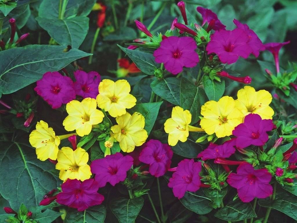 Цветок мирабилис - посадка и уход в открытом грунте