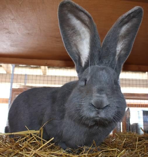 Кролики ризен: описание породы, фото, содержание, разведение