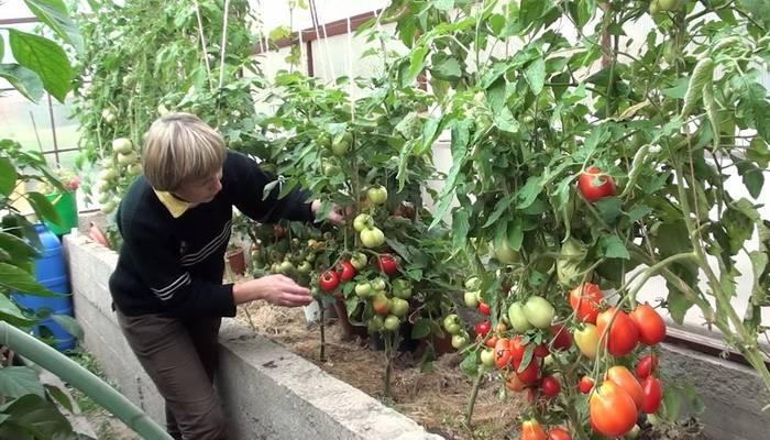Фитоспорин для томатов: 3 варианта применения для здорового урожая