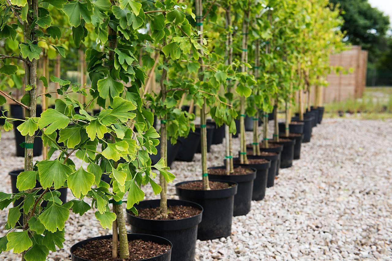 Садовые цветы  » гинкго билоба растение выращивание