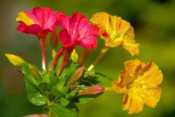Мирабилис: посадка и уход за неприхотливым, обильно цветущим растением