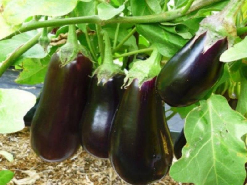Баклажан черный красавец: отзывы, фото, описание и выращивание сорта