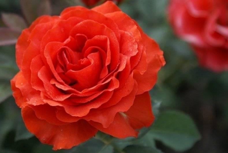 Голландские розы: посадка и уход, выращивание, размножение + фото
