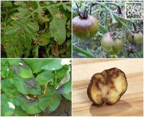 Лучшие средства от фитофторы на помидорах: перечень самых эффективных препаратов для борьбы с грибком на томатах, их классификация и обзор