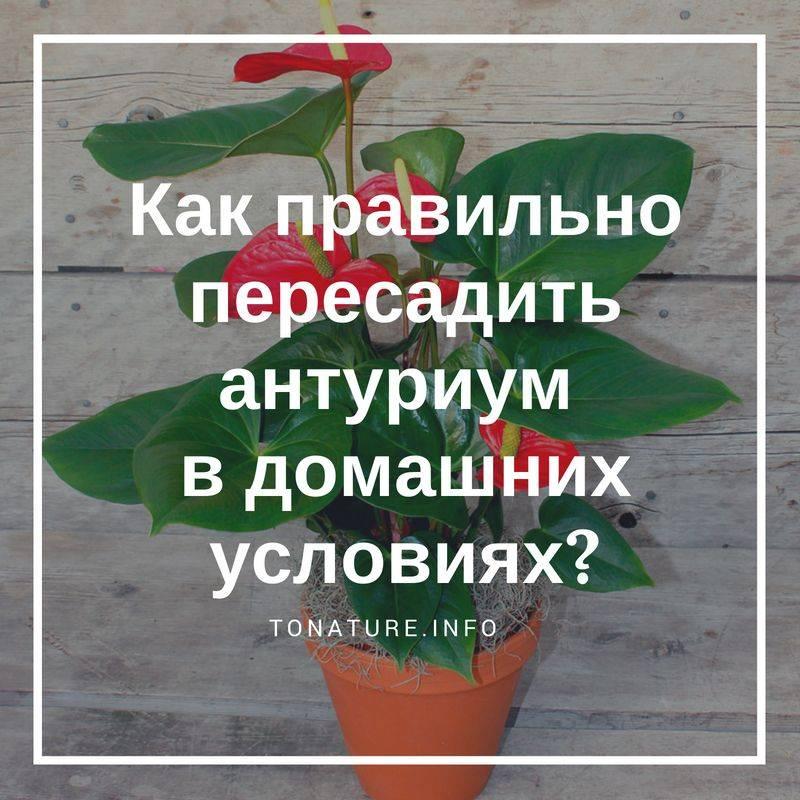 Не растет антуриум после пересадки: почему желтеют или чернеют листья, и что делать, если он не цветёт в новом грунте, а вянет и засыхает? selo.guru — интернет портал о сельском хозяйстве