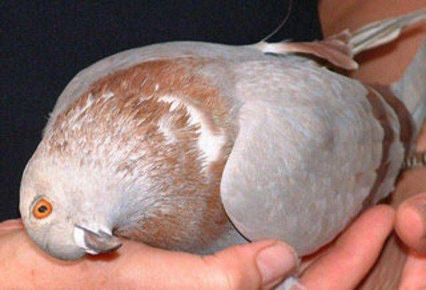 Какие инфекции и болезни переносят голуби и как от них уберечься?
