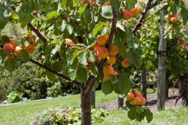 Обрезка абрикоса: правила и схема обрезки