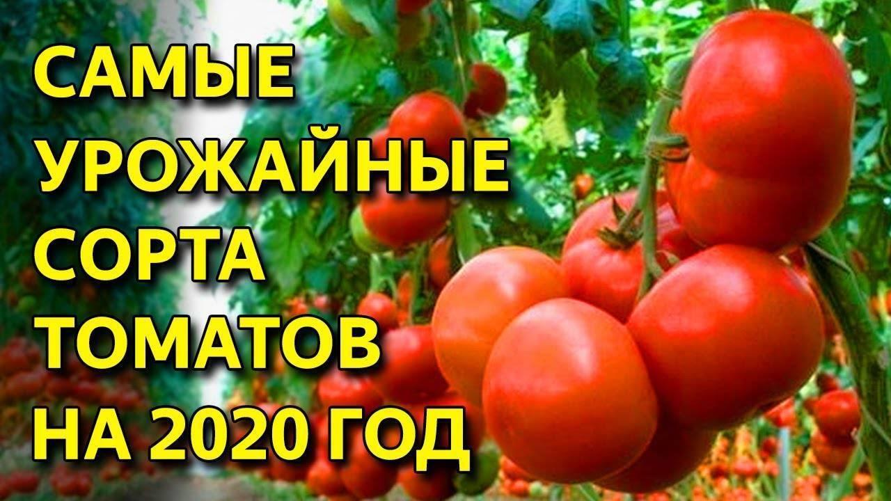 Лучшие сорта томата для северо запада по отзывам