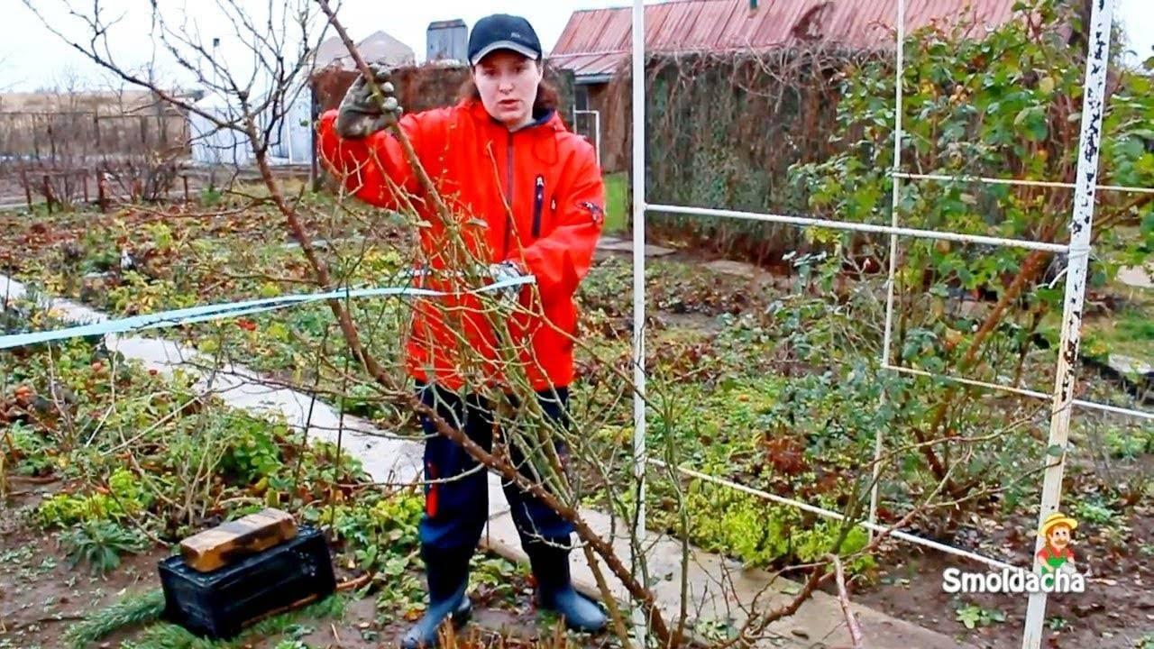 Как укрыть плетистую розу на зиму: подготовка к зимовке, обрезка вьющихся кустов, внесение удобрений