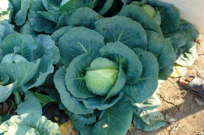 Капуста «леннокс» f1: отзывы, фото, описание и характеристика сорта, посадка, выращивание и уход