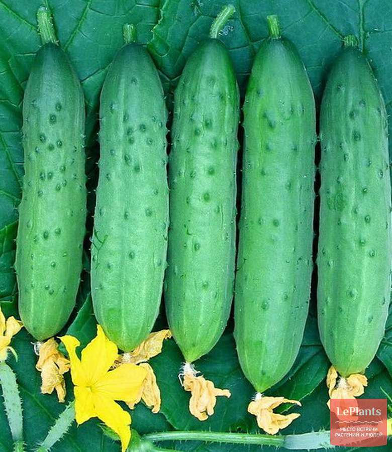 Описание сорта огурцов вятский, его характеристика и урожайность - всё про сады