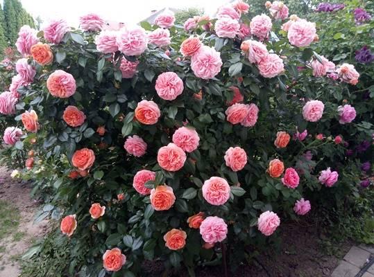 Особенности розы чиппендейл, выращивание и уход