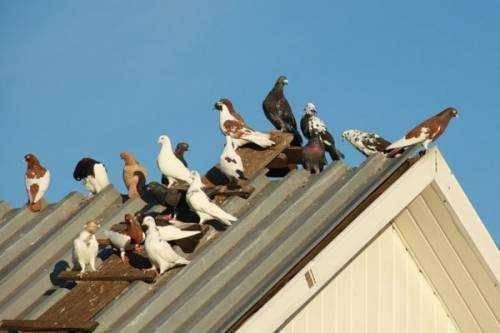 Как избавиться от голубей на подоконнике или балконе путем отпугивания