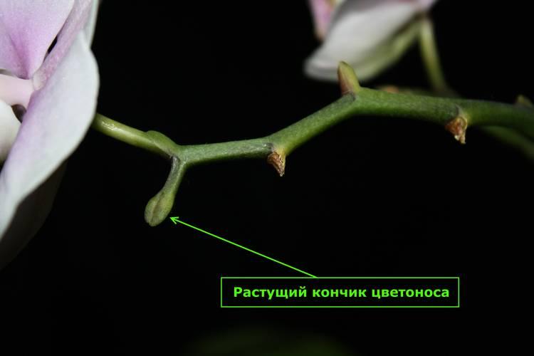 Почему вянет орхидея и что делать, чтобы ее спасти
