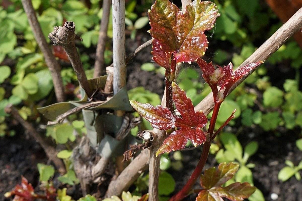 Виноградовник: выращивание лианы, размножение и особенности ухода