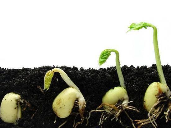 Перцы в открытый грунт когда высаживать, и как правильно посадить рассаду